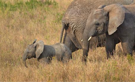 home famiglia di elefanti